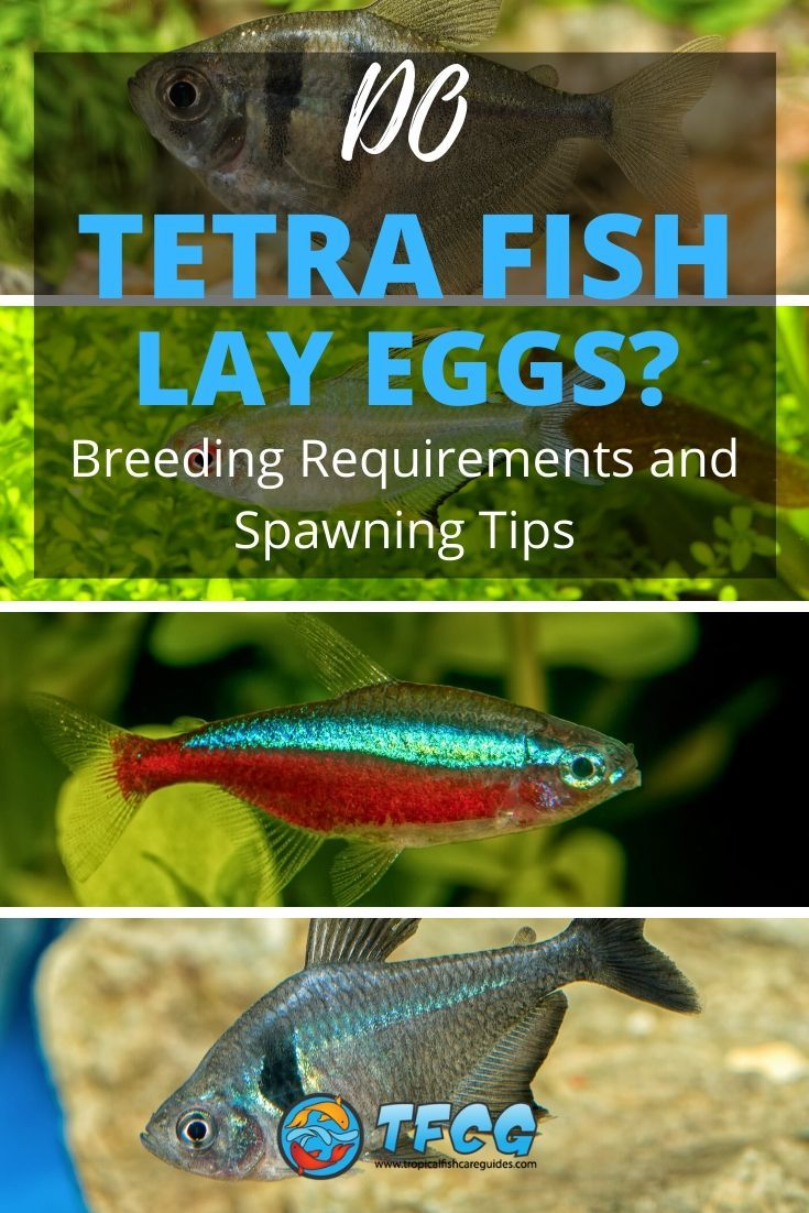 Do Tetra Fish Lay Eggs Breeding Requirements and Spawning Tips