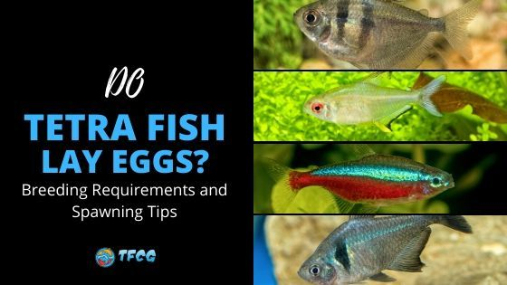 Do Tetra Fish Lay Eggs