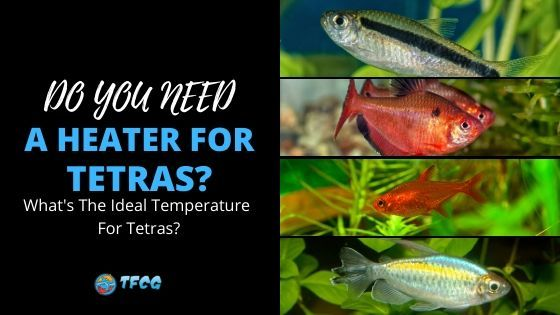 Do Tetra Fish Need a Heater