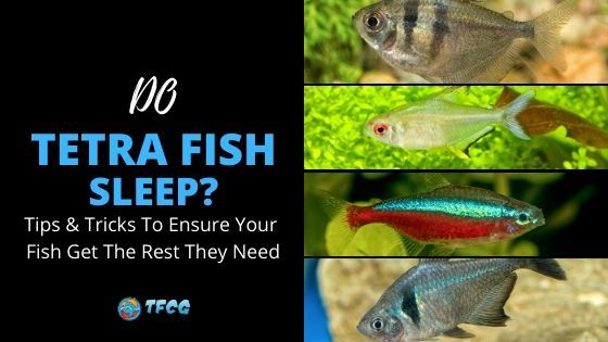 Do Tetras Sleep