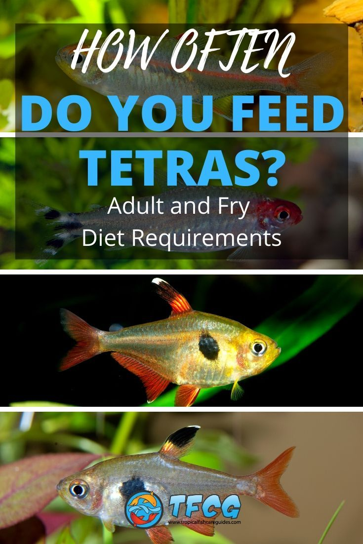 How Often Do You Feed Tetra Fish Adult and Fry Diet Requirements