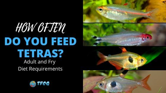 How Often Do You Feed Tetra Fish