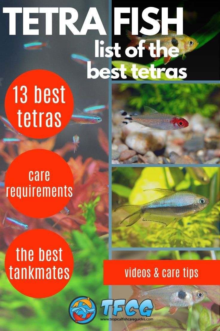 List of the Best Tetra Fish Types