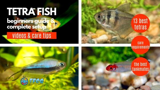Tetra Fish Types Best & Most Popular Tetras