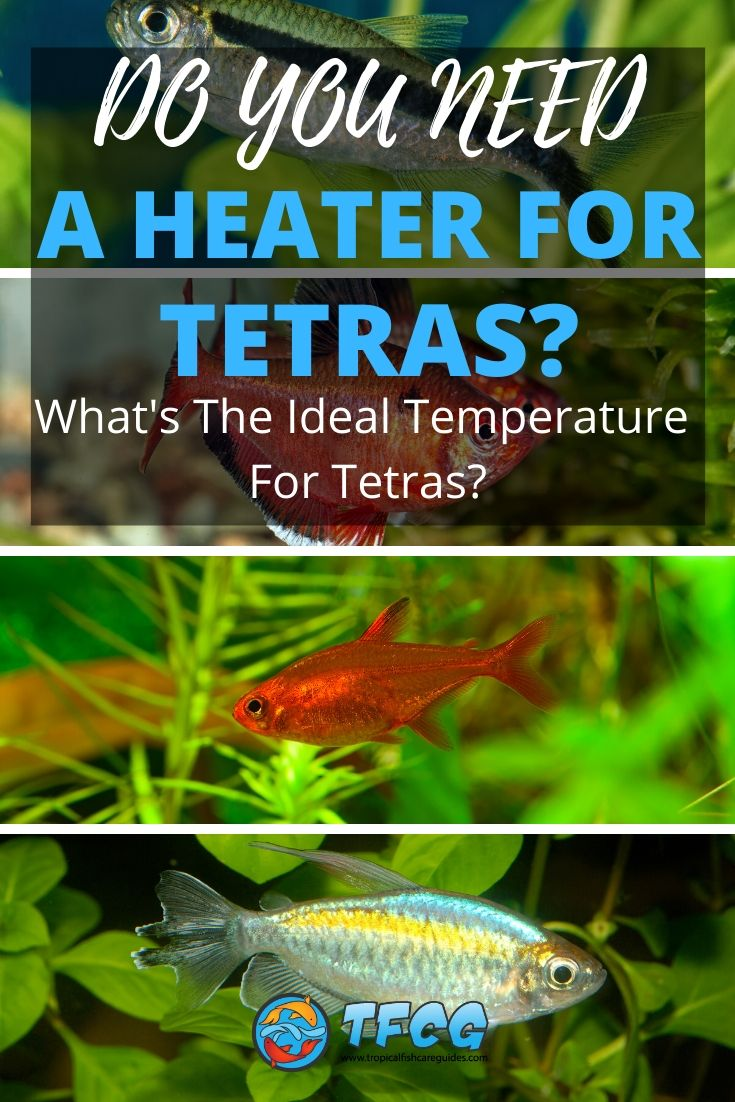 What's The Ideal Temperature For Tetras Do You Need A Heater