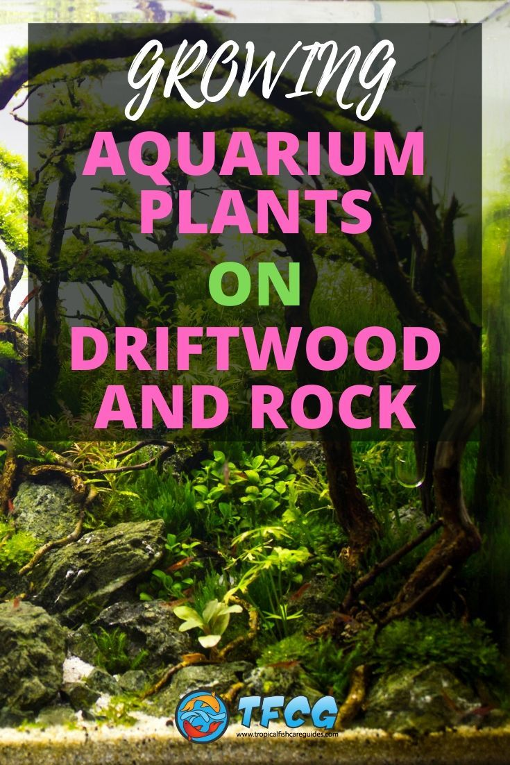 Best Aquarium Plants That Can Grow On Driftwood And Rock