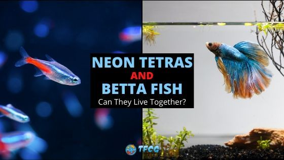 Can Neon Tetras And Betta Fish Live Together