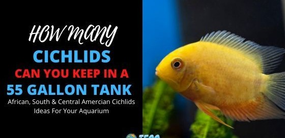 How Many Cichlids In 55 Gallon Tank