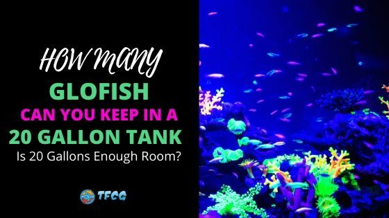 How Many GloFish In A 20 Gallon Tank