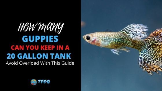 How Many Guppies Can You Keep in a 20 Gallon Tank