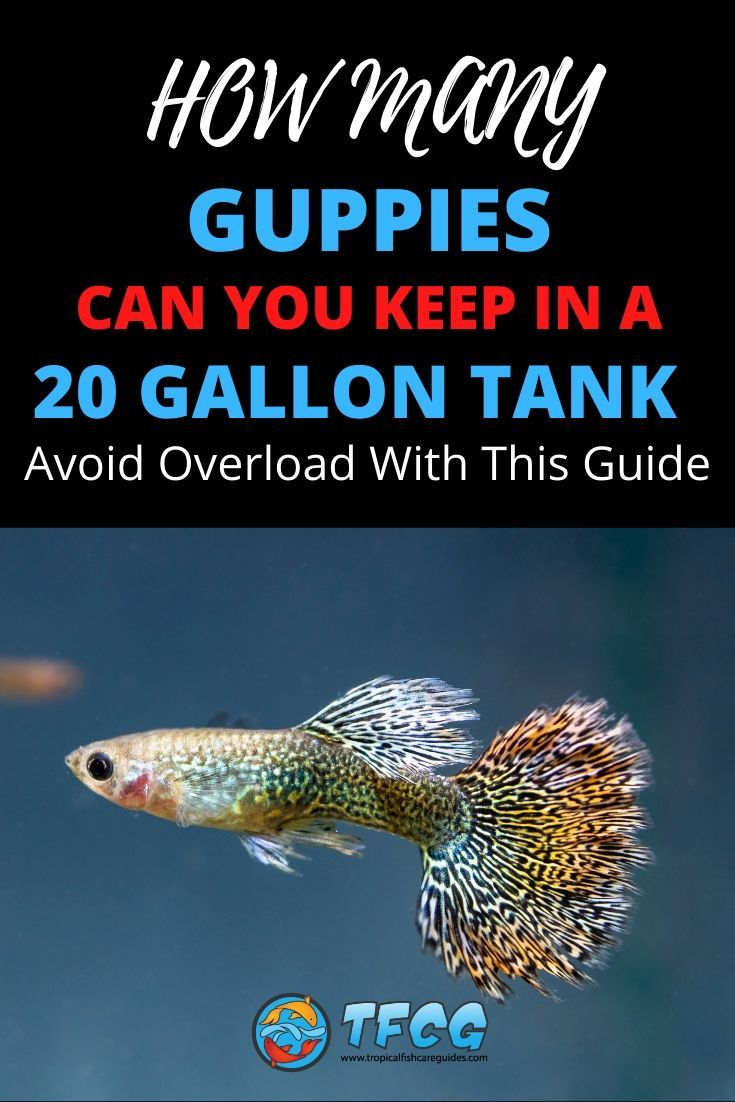 How Many Guppies in a 20 Gallon Tank Avoid Overload With This Guide.