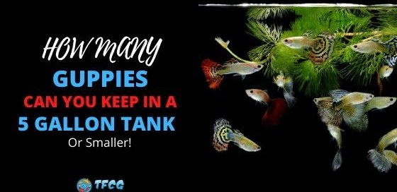 How Many Guppies in a 5 Gallon Tank