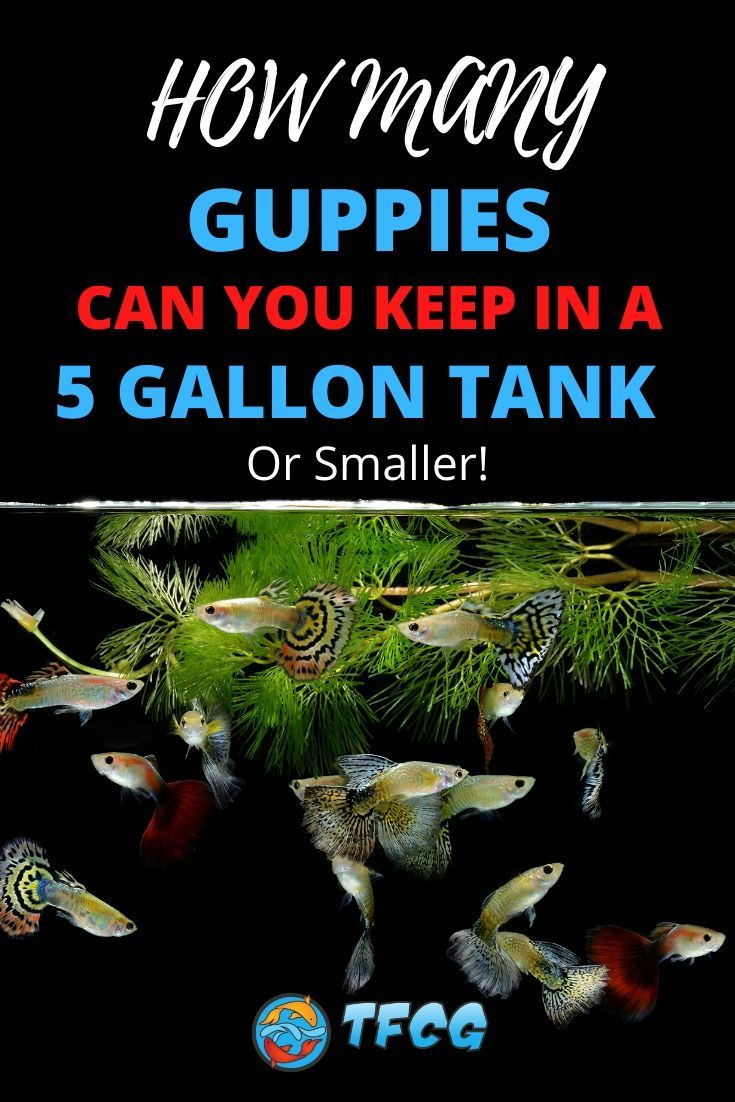 How Many Guppies in a 5 Gallon Tank Or Smaller