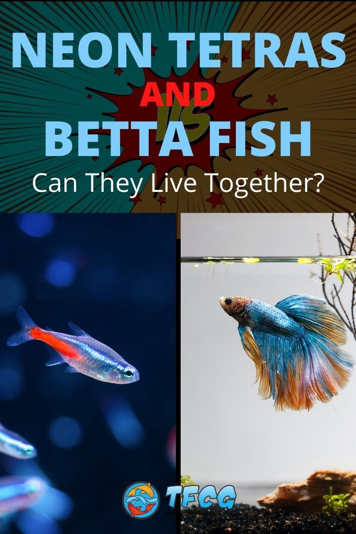 Neon Tetras And Betta Fish