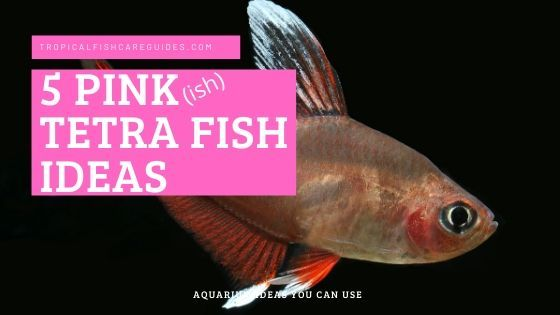 Pink Tetra Fish Ideas