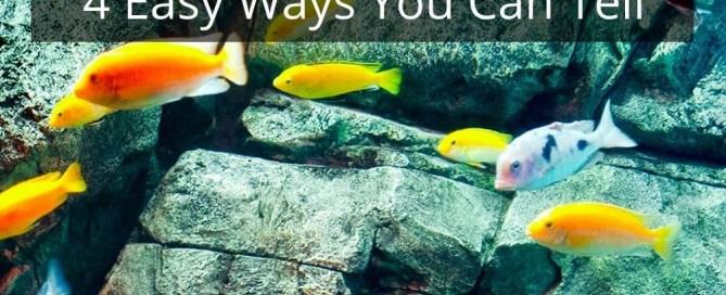 How To Tell If Your Cichlid Is Pregnant