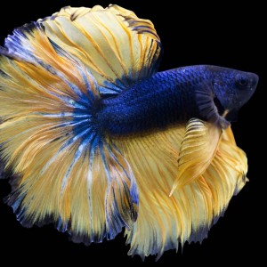 Picture Of A Mustard Gas Betta