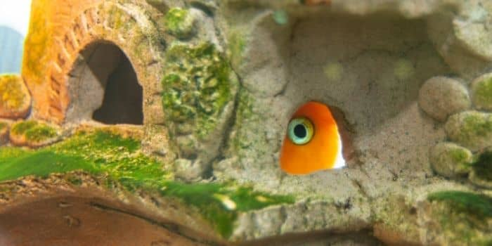 Transferring New Fish Might Cause Them To Hide